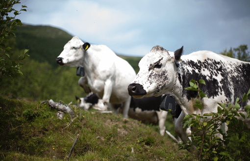 Norwegian scale-up using technology to help farmers graze animals without the need for traditional electric fences